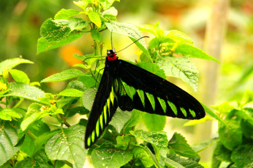 【キャメロンハイランド】butterfly garden バタフライガーデン