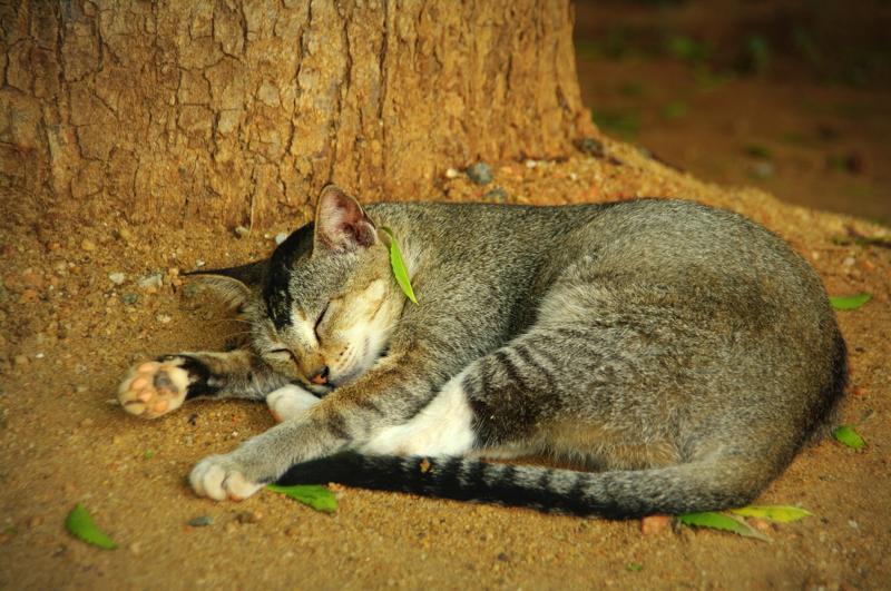 フォトギャラリー スリランカ トリンコマリー 猫 野良猫